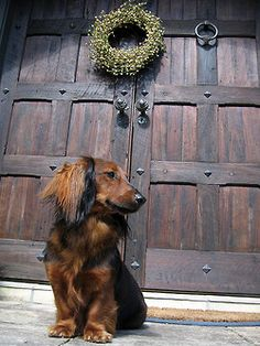 windowofthewind: merry xmas by fritz herbert on Flickr. Dachshund Puppy Dogs #Doxie #Dog