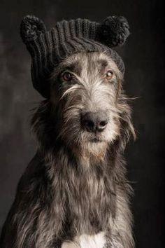 Irish Wolfhound, dogs, pets, cut, puppy