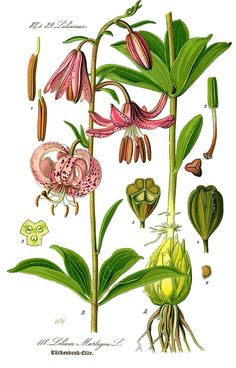 Illustration Lilium martagon0 clean - Lilium martagon - Wikipedia, la enciclopedia libre