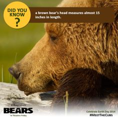 #DidYouKnow a brown bear's head measures almost 15 inches in length. Learn more when you #MeetTheCubs this Friday.