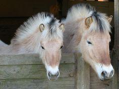 Norwegian Fjord Horses.    Aww. Fuzzy wuzzy babies ^^