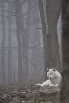 White Wolf Deep In The Forest