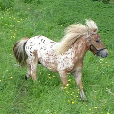 Name: JoJo. Age: 4 years old. horse race: Falabella. personality: sweet and cool