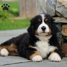 Bernese Mountain Dog puppies for sale! The Bernese Mountain Dog is a confident breed with a sweet temperament. Schnauzer Dogs, Chihuahua Dogs, Teacup Chihuahua, Cute Puppies, Cute Dogs, Dogs And Puppies, Burmese Mountain Dog Puppy, Bernese Dog, Greenfield Puppies