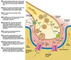 Function of the Neuromuscular Junction Pharmacy School, Pa School, Medical School, Neuromuscular Junction, Studying Medicine, Dry Needling, Nurse Anesthetist, Medical Anatomy, Vet Med