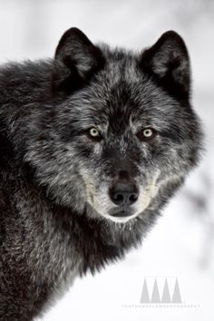 the grey wolf, beautiful creature