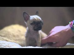 World's Smallest Pug Is Less Than Four Inches Tall