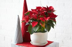 Get facts about poinsettias, plus care and preservation tips for the popular holiday flower.