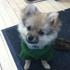 My new love Khloe... she's a Pom/Chi