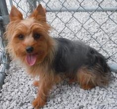 Farley is an adoptable Yorkshire Terrier Yorkie Dog in Oak Grove, MO. Farley is 1 yr. old, he is 8 pounds and is full grown. He came from a breeder, he is from a super good line of yorkie. Farly will ...
