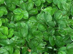 Organic Strawberry Bushes - Beautiful Lake Home for Sale on Lake James in Morganton NC