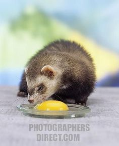 Healthy food tips for ferrets @azure47: