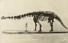 Another postcard of Brontosaurus skeleton at the American Museum of Natural History in New York, NY. Photo by William Sanborn. 1930s