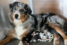 Image result for newborn blue merle australian shepherd puppies