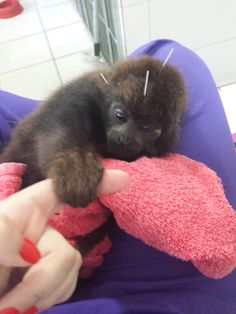 Baby monkey saved from coma with acupuncture treatments