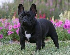 fabelhaft french bulldogs - objectform-life.com