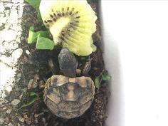 Tortoise baby with kiwi 🥝  #tortoise #turtle