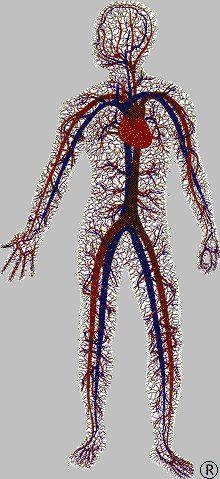 Lo sapevi che... Complessivamente la lunghezza totale delle arterie, delle vene e dei capillari nel corpo umano si aggira intorno ai 100.000 km, ovvero 2 volte e mezzo il giro del mondo!!!