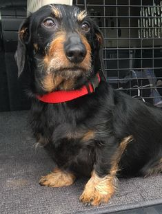 Meet Truman, a Petfinder adoptable Dachshund Dog in La Habra, CA | Petfinder.com Truman Dog • Dachshund • Adult • Male • Small Southern California Dachshund Rescue La Habra, CA  562-694-6868 2794 Sorrel La Habra, CA 90631 Dena@scdr.org ABOUT TRUMAN Name: Truman 4050 Color: Black & Tan Coat: Wirehair Age: 8 years Sex: Male/Neutered Size: Tweenie – 14 lbs. 02/26/2017
