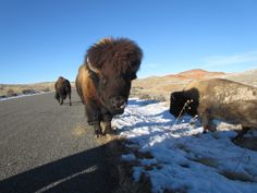 Bad Hair Day? Bison at Hot Spring State Park, Wyoming. I would be backing up as fast as I can..they can destroy a car and have seen it happen!