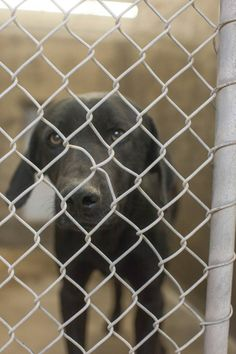 THIS GUY HAS ONLY 3 FACEBOOK SHARES AND HE'S GOING TO DIE TONIGHT @ 5PM! PLEASE SHARE LIKE CRAZY! FOSTERS ARE WELCOME!!  Lab mix male 2-3 years old Kennel A7 *****$51 to Adopt.  This guy is begging to get out.  Located at Odessa, Texas Animal Control.  https://www.facebook.com/speakingupforthosewhocant/photos/a.248402621850650.69312.248355401855372/741615589196015/?type=1&theater