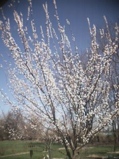 Apricot tree in these varieties.  EZ pick Tilton, Chinese (Mormon), Pudget Gold, and Tilton
