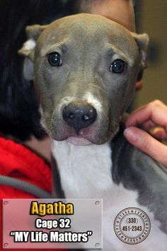 ADOPTED! Agatha--Dog • Pit Bull Terrier Mix • Baby • Female • Large Stark County Dog Warden Department Canton, OH. $86.00 fee includes OH license, DA2PP, Bordetella vaccine, Hw testing, Worming and spay/neuter. Flea treatment will be provided if fleas are noticed. All dogs will be spayed/neutered and micro chipped before leaving the pound