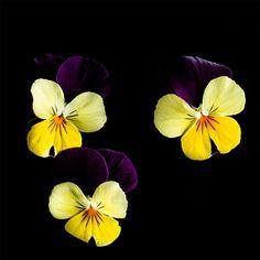 Villiyrtit omalta pihalta | Meillä kotona Irrigation Methods, Nordic Interior Design, Smart Garden, Sweet Violets, Small Leaf, Plant Needs, Edible Flowers, Garden Supplies, Plant Holders