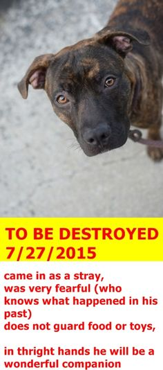 SAFE 7-28-2015 by Posh Pets Rescue --- TO BE DESTROYED 7/27/2015 Brooklyn Center My name is HARPUA. My Animal ID # is A1045163. I am a male br brindle and white am pit bull ter. The shelter thinks I am about 1 YEAR I came in the shelter as a STRAY on 07/23/2015 from NY 11373, owner surrender reason stated was STRAY. http://nycdogs.urgentpodr.org/harpua-a1045163/