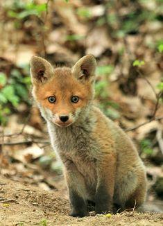 Fuchs, Tier, Wald, Natur, Säugetier, Kleine                                                                                                                                                      Mehr
