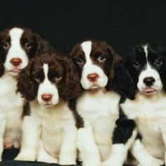 sweet-adorable springer spaniels
