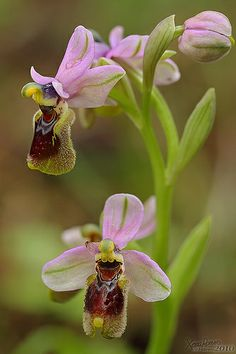 Orchidée 'Ophrys abeille' (Ophrys apifera). The Bee Orchid symbolises industry in the Victorian language of flowers.