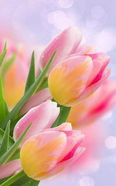 Tulips                                                                                                                                                                                 More #flowers Tulips Flowers, Flowers Nature, My Flower, Daffodils, Pretty Flowers, Spring Flowers, Planting Flowers, Roses, Pink Tulips