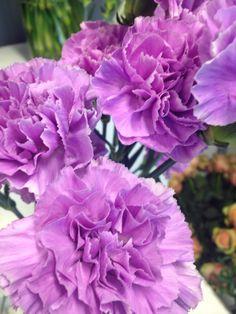 Lys lilla nellik - Dianthus Rose, Flowers, Plants, Pictures, Pink, Roses, Flora, Plant, Royal Icing Flowers