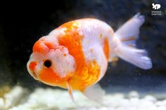 雙溪金魚錦鯉養殖場: 14-15公分 黑眼豆豆櫻花蘭壽