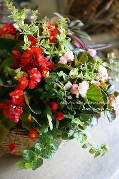 フローラのガーデニング・園芸作業日記-ベゴニア センパフローレンス 八重咲き 寄せ植え