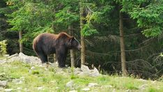 Stock Footage of A large black bear on the edge of the forest