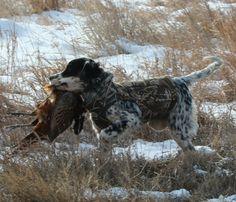English Setter Hunting | Daybreak English Setters
