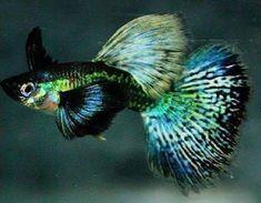 Some useful advices to keep your aquarium fish pets healthy Guppy, Tropical Aquarium, Tropical Fish, Bikini Fishing, Freshwater Aquarium Fish, Pet Fish, Beautiful Fish, Exotic Fish, Betta