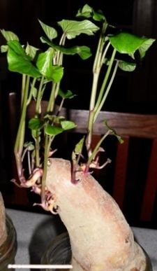Start your own Sweet Potato Slips. All these sprouts grew within three weeks and will become individual slips.