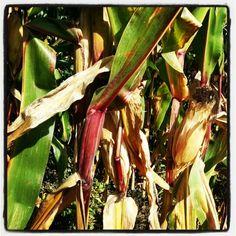 Goldener Oktober Thoughts In Hindi, Eggplant, Vegetables, Nature, Food, Naturaleza, Essen, Eggplants, Vegetable Recipes