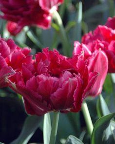 Tulip Antraciet