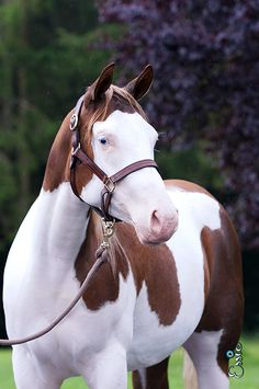 The Horse Lifestyle Most Beautiful Animals, Beautiful Horses, Beautiful Creatures, Cowgirl And Horse, Horse Love, Horse Senior Pictures, American Paint Horse, All The Pretty Horses, Draft Horses