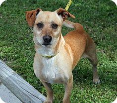 Newport, NC - Dachshund Mix. Meet T-ball, a dog for adoption. http://www.adoptapet.com/pet/11466638-newport-north-carolina-dachshund-mix
