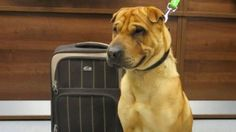 Dog Found Abandoned With Suitcase Filled With His Belongings The dog, a male shar-pei named Kai, was found sitting with a leash attached to a banister at the Ayr railway station on Jan. 2, according to an animal welfare group.