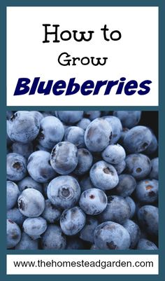 Hydroponic Gardening Ideas How to Grow Blueberries - Blueberries are a family favorite fruit. Learn how to grow blueberries in your own yard in just a few simple steps. Blueberry Plant, Blueberry Bushes, Blueberry Farm, Hydroponic Farming, Hydroponics, Hydroponic Growing, Gardening For Beginners, Gardening Tips, Gardening Supplies