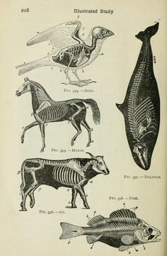 scientific drawing of animal