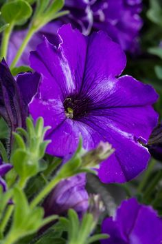 Petunia (Petunia × atkinsiana) - https://commons.wikimedia.org/wiki/Category:Petunia_%C3%97_atkinsiana?uselang=en-gb
