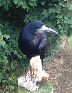 TAXIDERMY BIRD/ CARRION CROW / ROOK GOTHIC