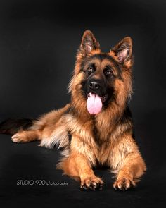 Bruno The German Shephard